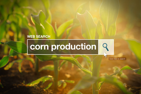 maize cultivation: Corn production in internet browser search box, maize field in background