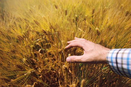cereal plant: Farmer in agricultural barley field controlling cereal plant growth, responsible farming and crop protection Stock Photo