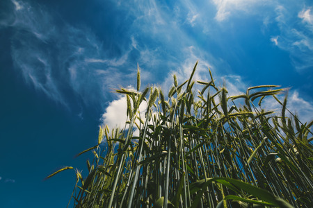 low angle view: Low angle view of barley straws in cultivated field with blue sky in background Stock Photo