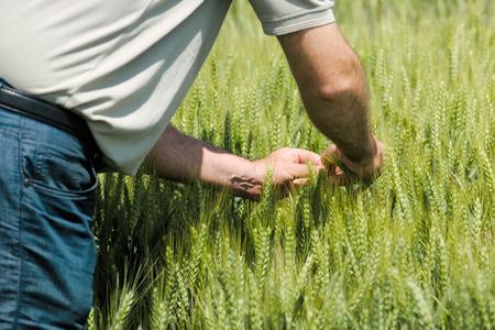 cultivo de trigo: la protección de los cultivos de trigo y cereales granos agricultura responsable, varón agricultor en el campo de cultivo. Foto de archivo
