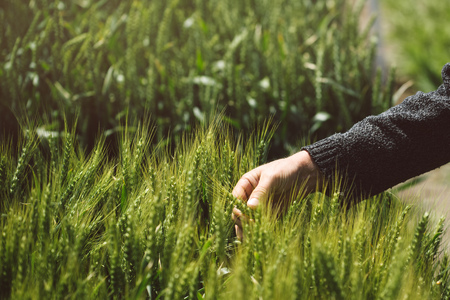 cereals holding hands: Male hand in wheat field, farmer examining wheat ears in cultivated field