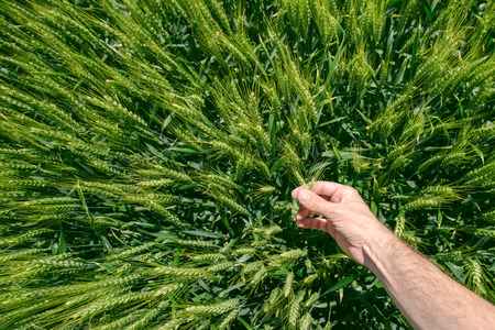 plant hand: Male farmer in wheat field, personal point of view, hand touching cereal crops Stock Photo