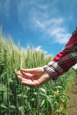 a crop: Female farmer in wheat field, hand touching cereal crops