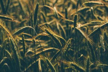 cereal plant: Retro toned rye crops field, selective focus