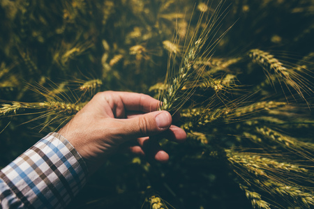 personal point of view: Male farmer in wheat field, personal point of view, hand touching cereal crops Stock Photo