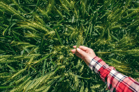 personal point of view: Female farmer in wheat field, personal point of view, hand touching cereal crops