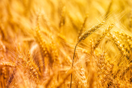 rye: Harvest ready golden yellow triticale ears, hybrid of wheat and rye growing in cultivated field Stock Photo