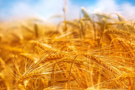 cebada: Campo de oro de la cebada, paisaje rural, la agricultura y el concepto de la agricultura ecológica, el enfoque selectivo