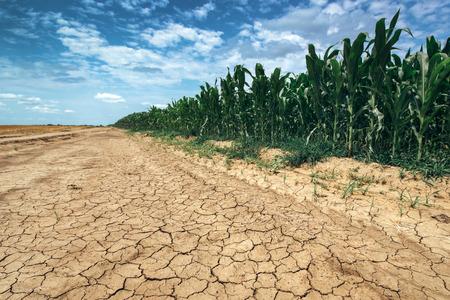 sequias: cosecha de maíz que crecen en condiciones de sequía, campo de maíz verde en la tierra seca con grietas de barro Foto de archivo