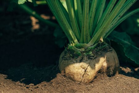commercially: Sugar beet root in the ground, cultivated crop field grown commercially for sugar production, selective focus