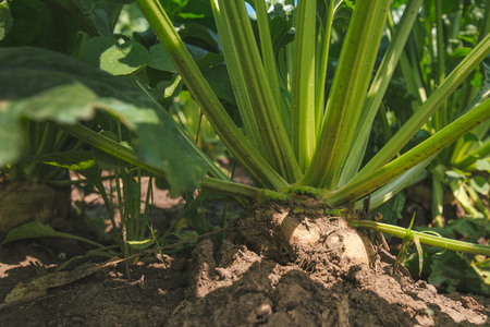 grown up: Sugar beet root in the ground, cultivated crop field grown commercially for sugar production, close up with selective focus