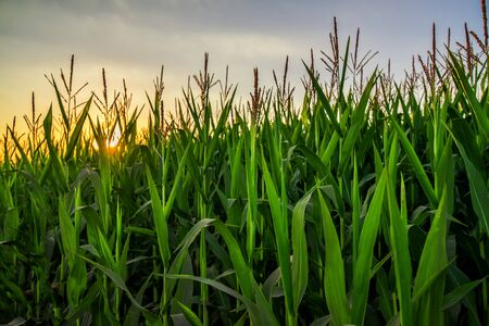 crop  stalks: Tall corn crop plants in sunset, green maize plantation growing high Stock Photo
