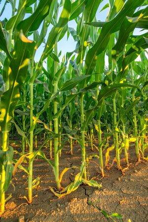 crop  stalks: Corn crop plant stalks in clean cultivated agricultural field without weed