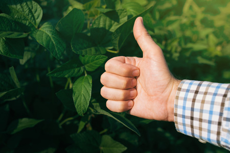 farmer sign: Farmer giving thumb up in cultivated soybean field, satisfied agricultural worker endorsing with hand sign.