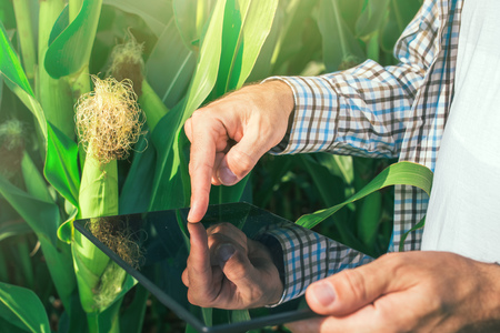Farmer using digital tablet computer in corn field, modern technology application in agricultural growing activity, selective focus Stock Photo