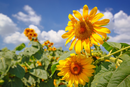 field crop: Blooming sunflower heads in cultivated crop field, selective focus Stock Photo