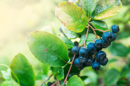 the fruitful: Fruitful ripe aronia berry fruit on the branch, selective focus Stock Photo