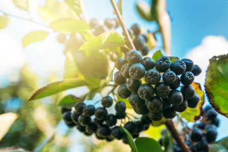 Fruitful ripe aronia berry fruit on the branch, selective focus Imagens