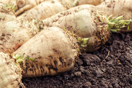 Harvested sugar beet crop root on the ground, selective focus Stock Photo - 62392372