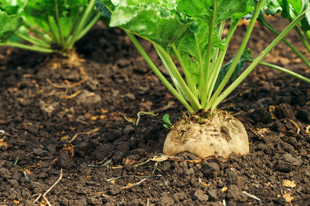 Sugar beet root in ground, cultivated crop in the field Stockfoto
