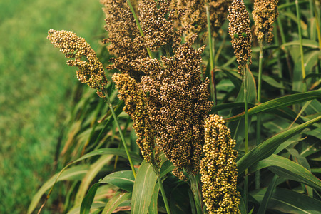 fodder: Cultivated sorghum field, an important crop worldwide, used for food, animal fodder and biofuels.