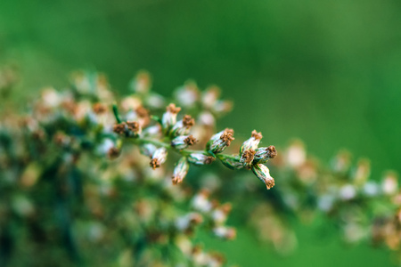 notorious: Ragweed or ambrosia plant, its pollen is notorious for causing allergic reactions in humans, selective focus Stock Photo