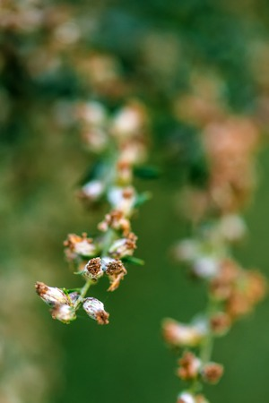 causing: Ragweed or ambrosia plant, its pollen is notorious for causing allergic reactions in humans, selective focus Stock Photo