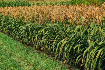 Cultivated sorghum field, an important cereal crop worldwide
