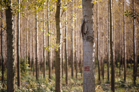 forest management: Forestry paint marking on tree trunks in woods, timber being labeled to be cut of