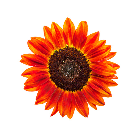 flowerhead: Red sunflower head isolated on white background Stock Photo