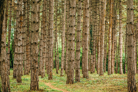 pine forest: Pine tree forest in autumn october afternoon, tall vertical woods as beautiful nature scenery background