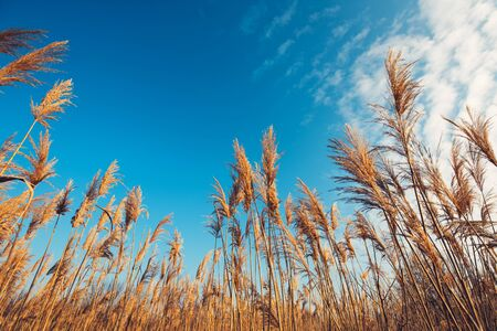 Dry bulrush reed on sunny winter day, low angle Stock Photo
