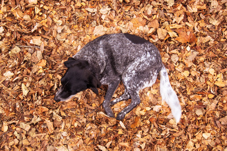 hojas antiguas: Old stray dog in pile of fallen autumn leaves, top view Foto de archivo