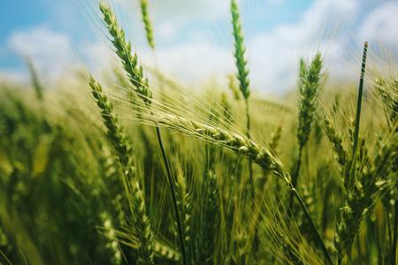 Beautiful green wheat ears growing in field, rural scenery, selective focus