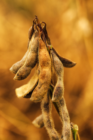 Ripe soybean pods close up, cultivated organic agricultural crop Stock Photo