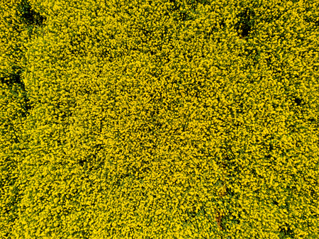 Aerial view of cultivated rapeseed plantation field from drone pov, blooming oilseed rape flowers from above as abstract natural background
