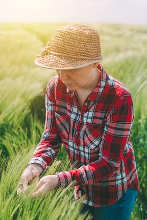 cultivo de trigo: Female farmer examining wheat ears in field, woman working on cereal crop plantation Foto de archivo