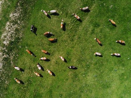 牧草地分野、トップ ビュー ドローン pov の放牧牛の群れの空撮