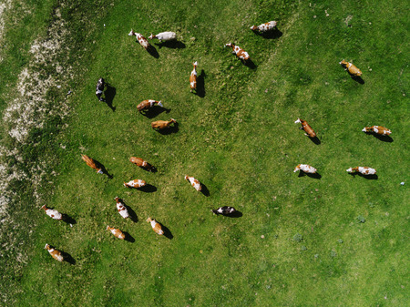 Aerial view of cows herd grazing on pasture field, top view drone pov Archivio Fotografico