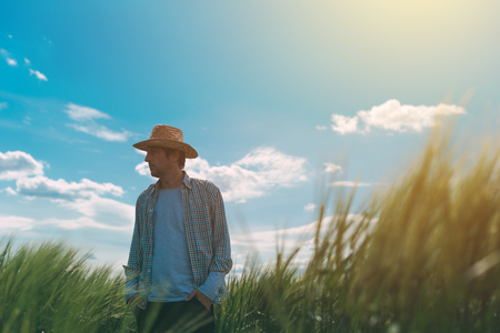 Farmer walking through a green wheat field on windy spring day and examining cereal crops