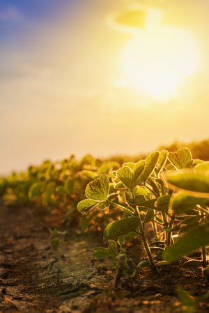 Soybean plantation in sunset, growing cultivated crops in field Stock Photo