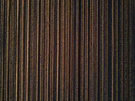 Drone pov aerial view of cultivated corn maize crop field top view as abstract agricultural background