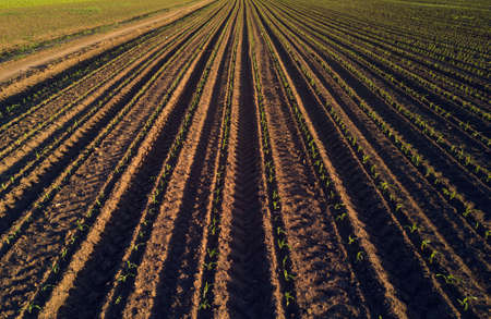 seeding: Maize crop field in perspective, drone pov Stock Photo