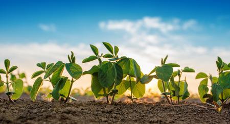 Small soybean plants growing in row in cultivated field Standard-Bild