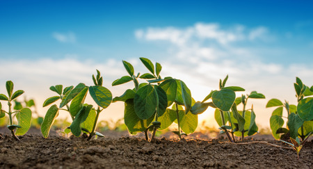 Small soybean plants growing in row in cultivated field Imagens