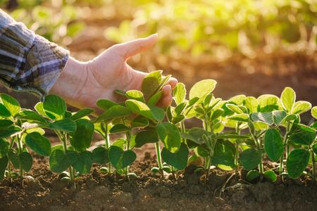 Cerca de la mano del agricultor examinar la hoja de la planta de soja en el campo agrícola cultivado, la agricultura y la protección de los cultivos