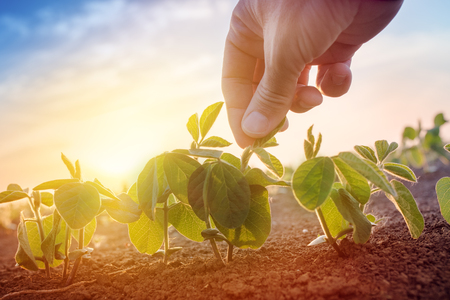 아침에 콩 필드에서 일하는 농부, 재배 식물의 잎을 들고 손을