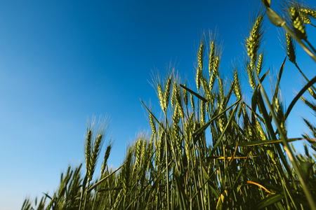 cultivo de trigo: Low angle of green wheat crop field, cereal plants growing against blue sky