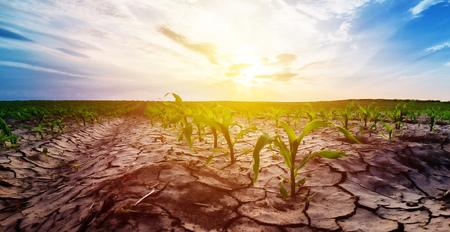 Drought in cultivated corn maize crop field