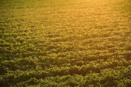 Cultivated organic soybean field in sunset, selective focus